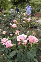 プリンセス咲き誇る とっとり花回廊「ばらまつり」始まる
