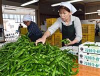京都の夏の伝統野菜・万願寺甘とう初出荷 舞鶴で出発式、生産者らが祝う
