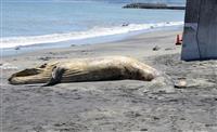 クジラの死骸を鎌倉と横須賀で相次ぎ発見