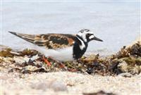 キョウジョシギ、はんなり夏仕様 米子の海岸に飛来