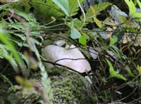 新しい命「白い花」次々 モリアオガエルの卵塊 鳥取・打吹山