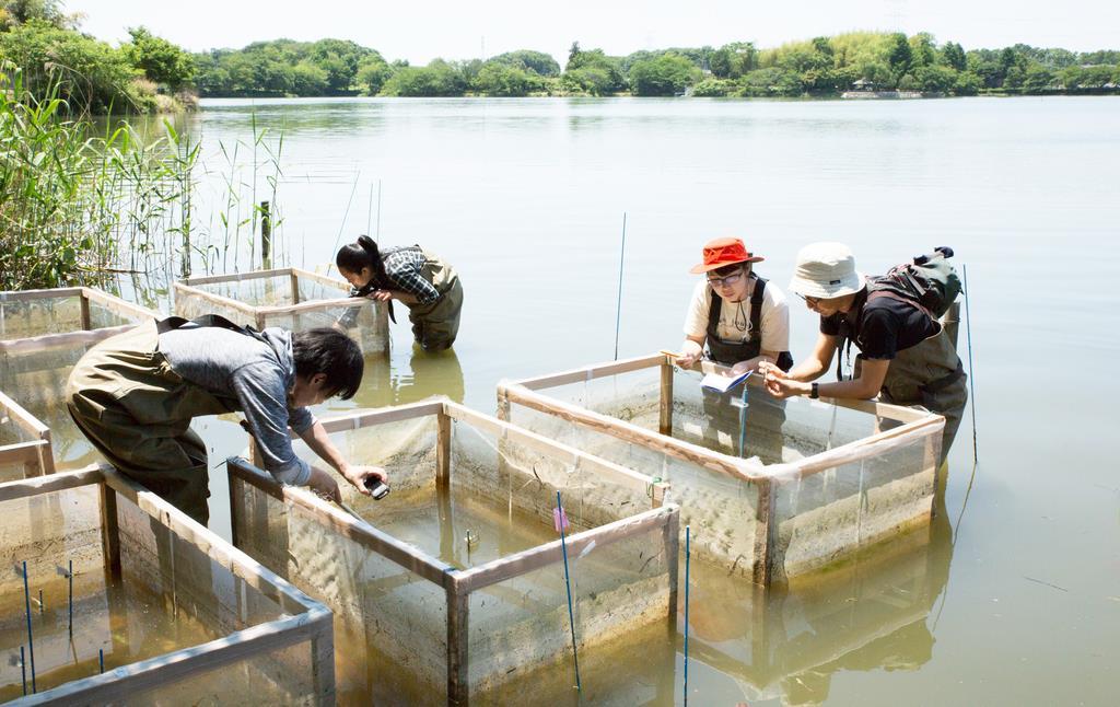 コシガヤホシクサの自生地だった農業用ため池での試験栽培の様子=茨城県下妻市(田中法生氏提供)