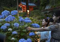 【動画】「あじさい園」週末ライトアップ 京都・宇治の三室戸寺