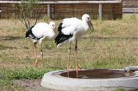 令和にちなみ「レイ」と「カズ」 コウノトリの幼鳥命名 千葉県野田市