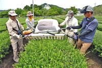 オリーブ茶、今年もどうぞ 小豆島で若葉の刈り取り作業