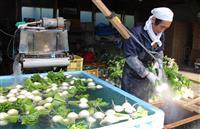 「トロかぶ」収穫最盛期 那須塩原