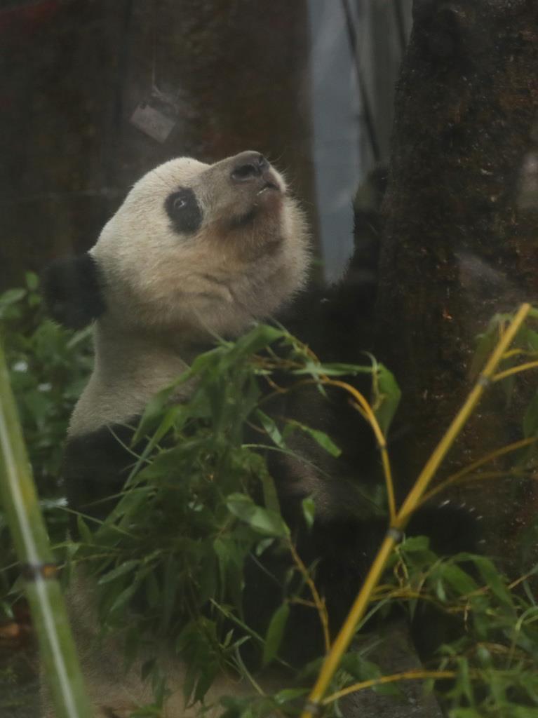 12日で2歳を迎えるジャイアントパンダのシャンシャン=10日午前、東京都台東区(納冨康撮影)