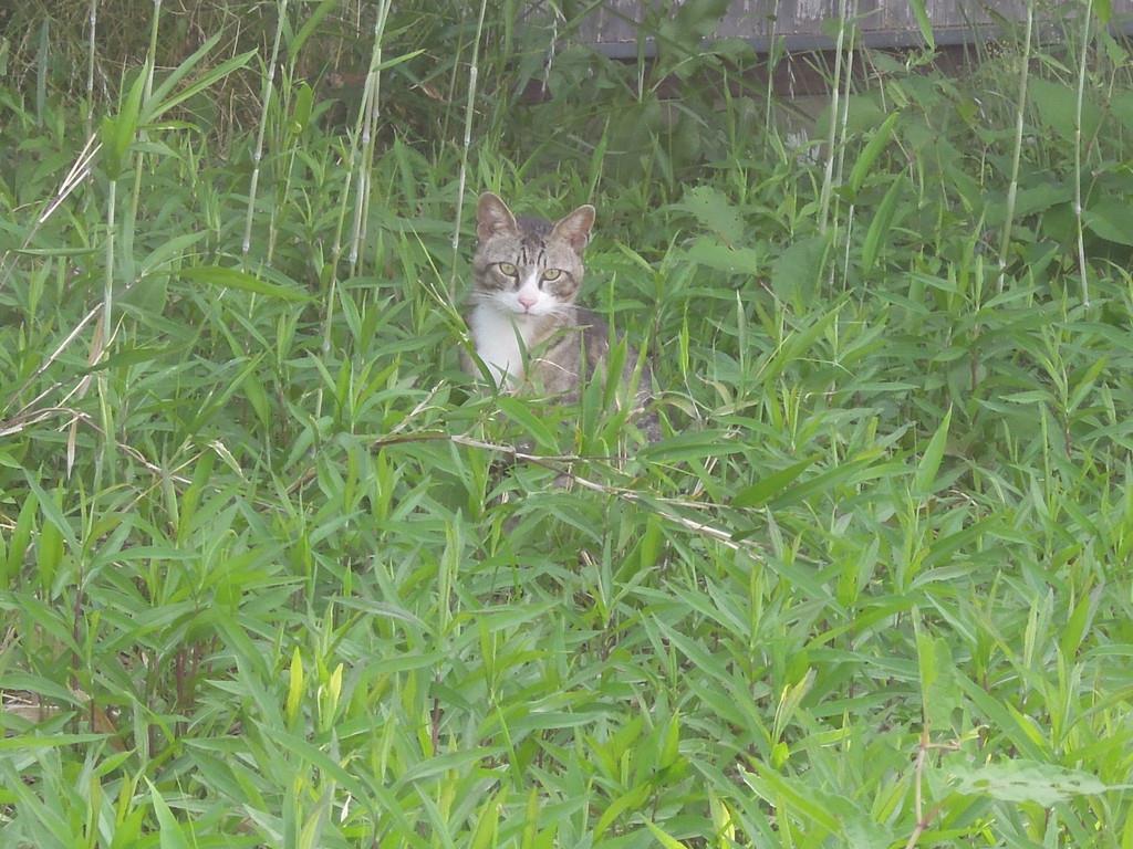 茂みからこちらを見つめるネコ=6月5日午後、香川県多度津町の佐柳島