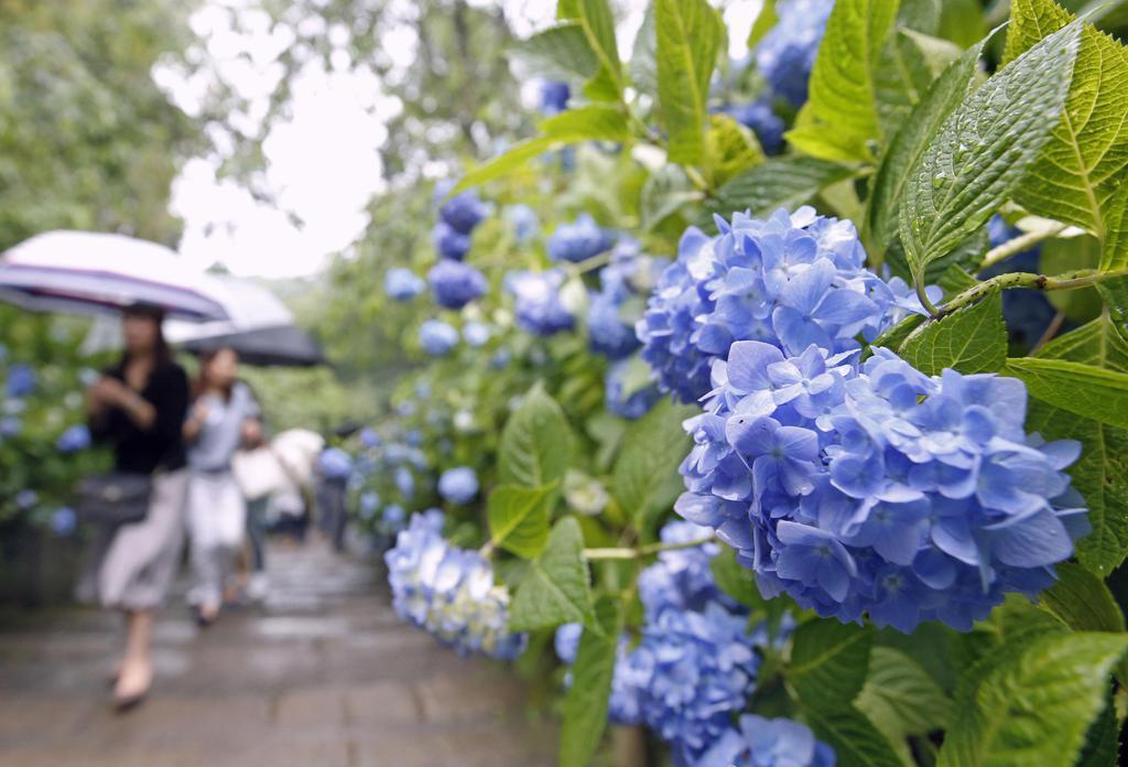 関東甲信が梅雨入りしたとみられる7日、神奈川県鎌倉市の「明月院」でアジサイが見頃を迎えた。