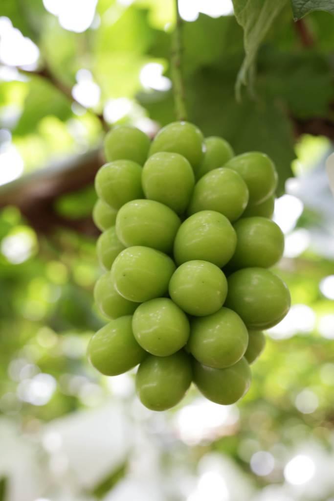 岡山県内で栽培されているシャインマスカットの「晴王」