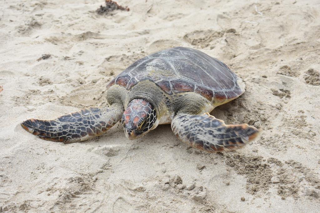 砂をはいながら海に向かうアオウミガメ=6月2日午前、鳥取県岩美町