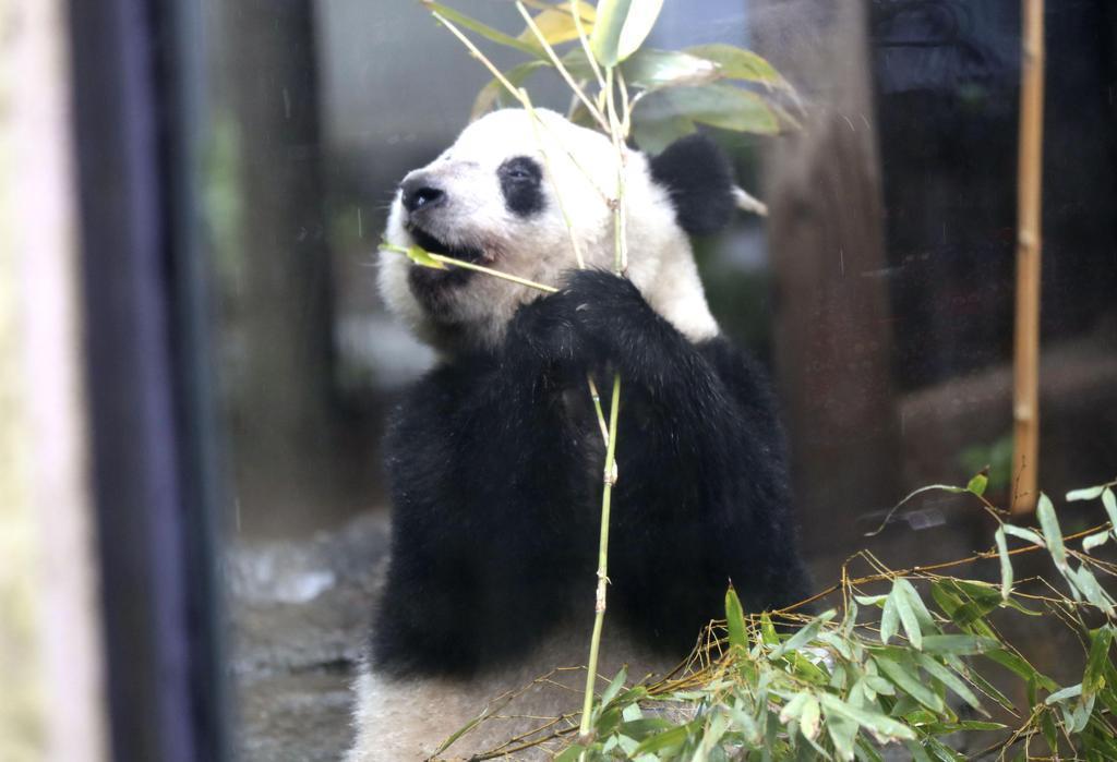 ジャイアントパンダのシャンシャン=10日、東京・上野動物園
