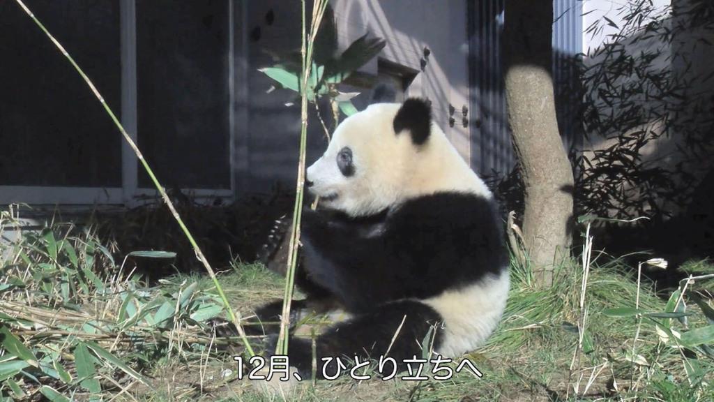 ひとり立ちし始めたシャンシャン=東京・上野動物園(東京動物園協会提供)