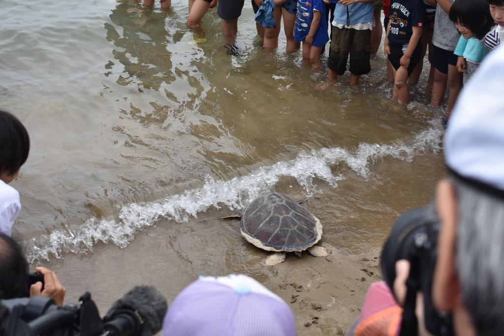 海に帰っていくアオウミガメ=6月2日午前、鳥取県岩美町