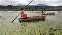 ジュンサイ採り始まる 村山市の新人職員が体験