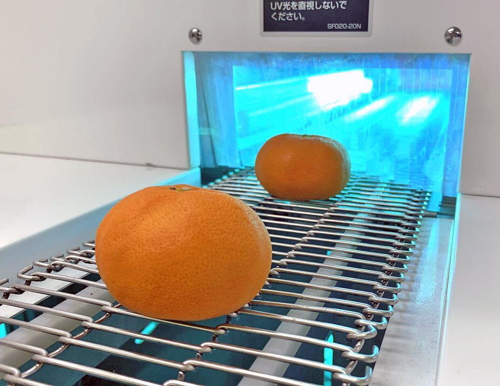ミカンに紫外線を照射する装置(雑賀技術研究所提供)