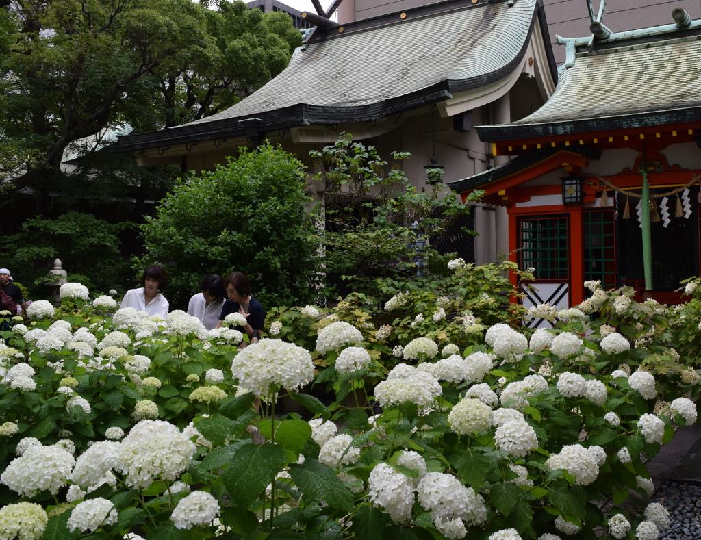 境内を白く染める「アナベル」が参拝者を楽しませている=大阪市中央区