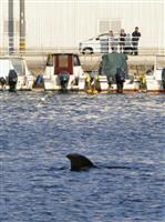 小倉の港に迷いクジラ?
