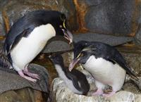 希少種ペンギンのヒナ6羽誕生 人工繁殖に挑む海遊館