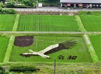 巨大コウノトリ、華麗に飛翔 豊岡・但東町で田んぼアート