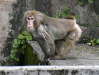 沖縄の脱走サル残り8匹に 警戒続く