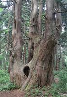 【大人の遠足】山形・最上峡「幻想の森」 樹齢1000年超の巨木に圧倒