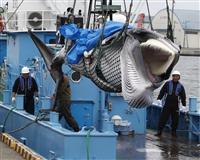 【商業捕鯨の灯、ふたたび】(中)クジラで地方が生き返る 安い鯨肉を食卓へ