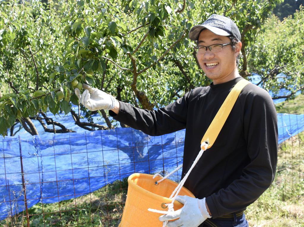 自身の畑で梅を収穫する元SEの伏見勇希さん=福井県若狭町