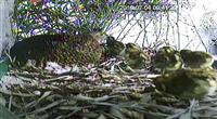 ライチョウのひな2羽死ぬ 人工繁殖で自然孵化、富山
