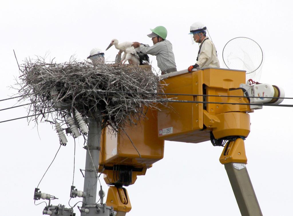電柱にできたコウノトリの巣から、足輪を付けるためすくい上げられるひな=8日午前、福井県坂井市