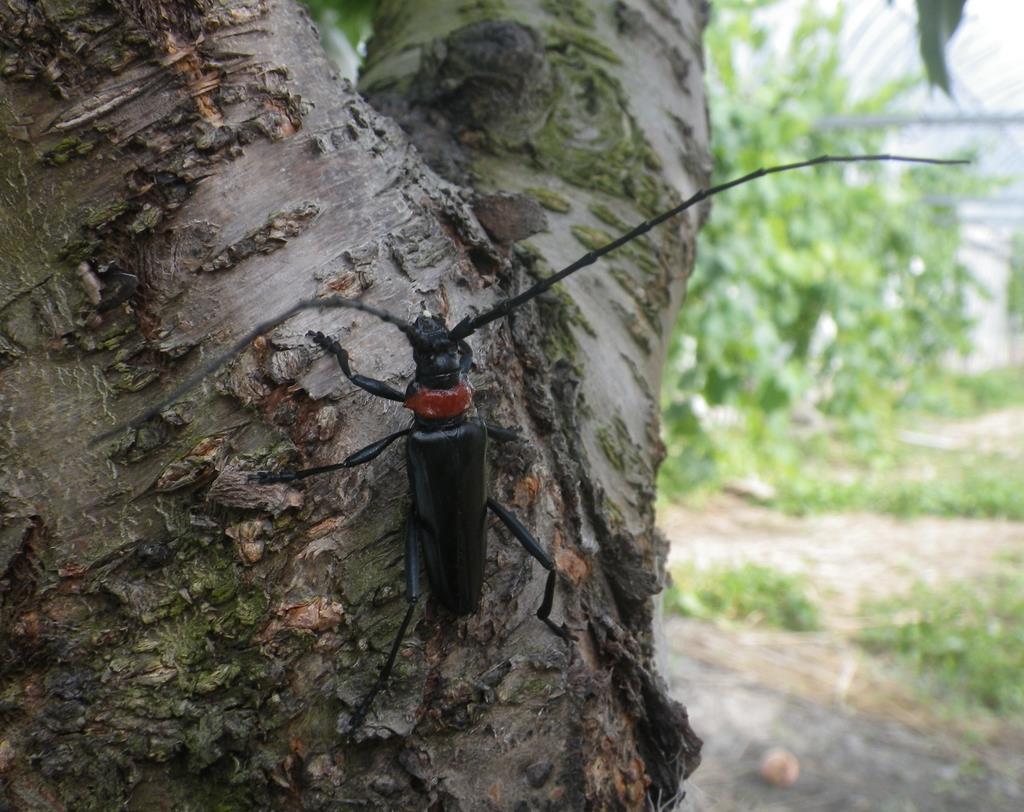クビアカツヤカミキリの成虫は体長2・5~4センチで、光沢のある黒色で赤い胸部が特徴(徳島県立農林水産総合技術支援センター提供)