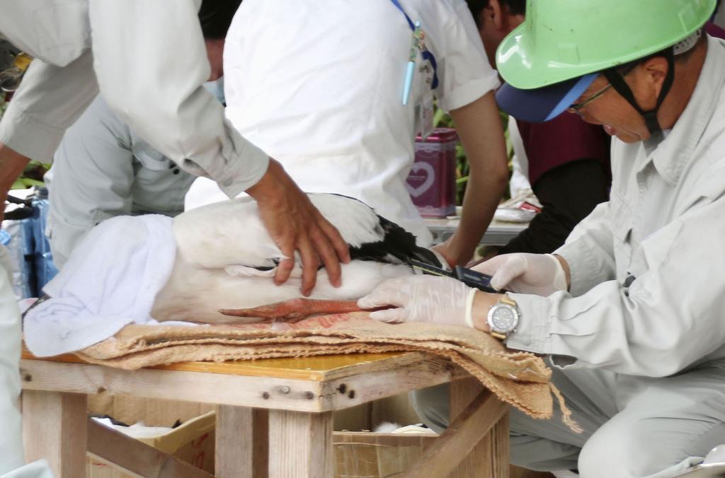 巣からすくい上げられ、足輪を付けられるコウノトリのひな=8日午前、福井県坂井市