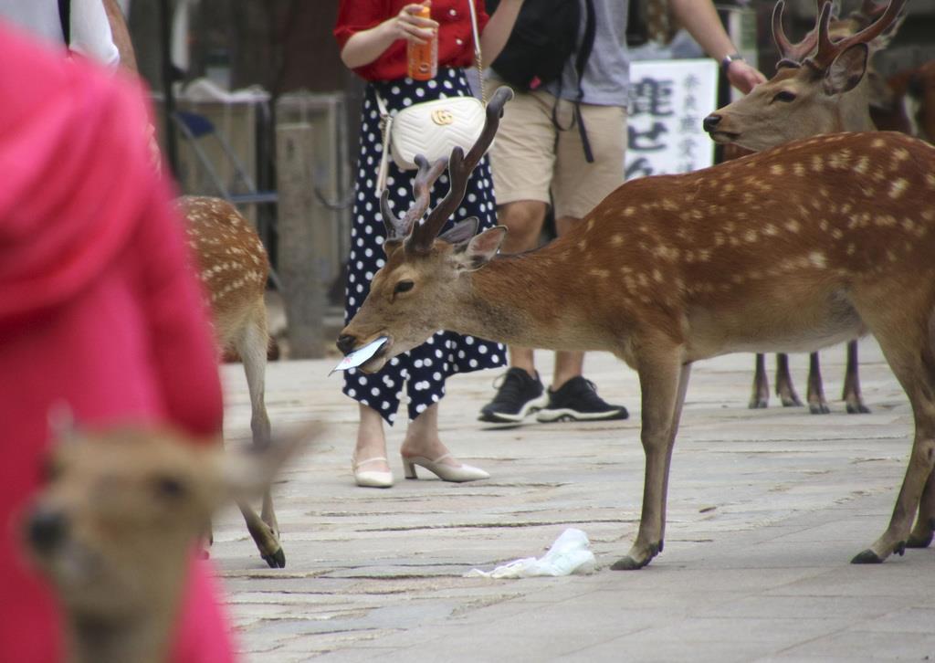 地面に落ちたごみをくわえるシカ=6月、奈良市の奈良公園