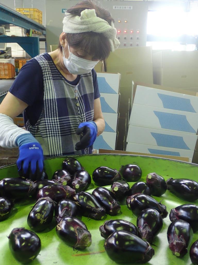 JA大阪泉州の集荷場で仕分けされる水なす(大阪府泉佐野市)
