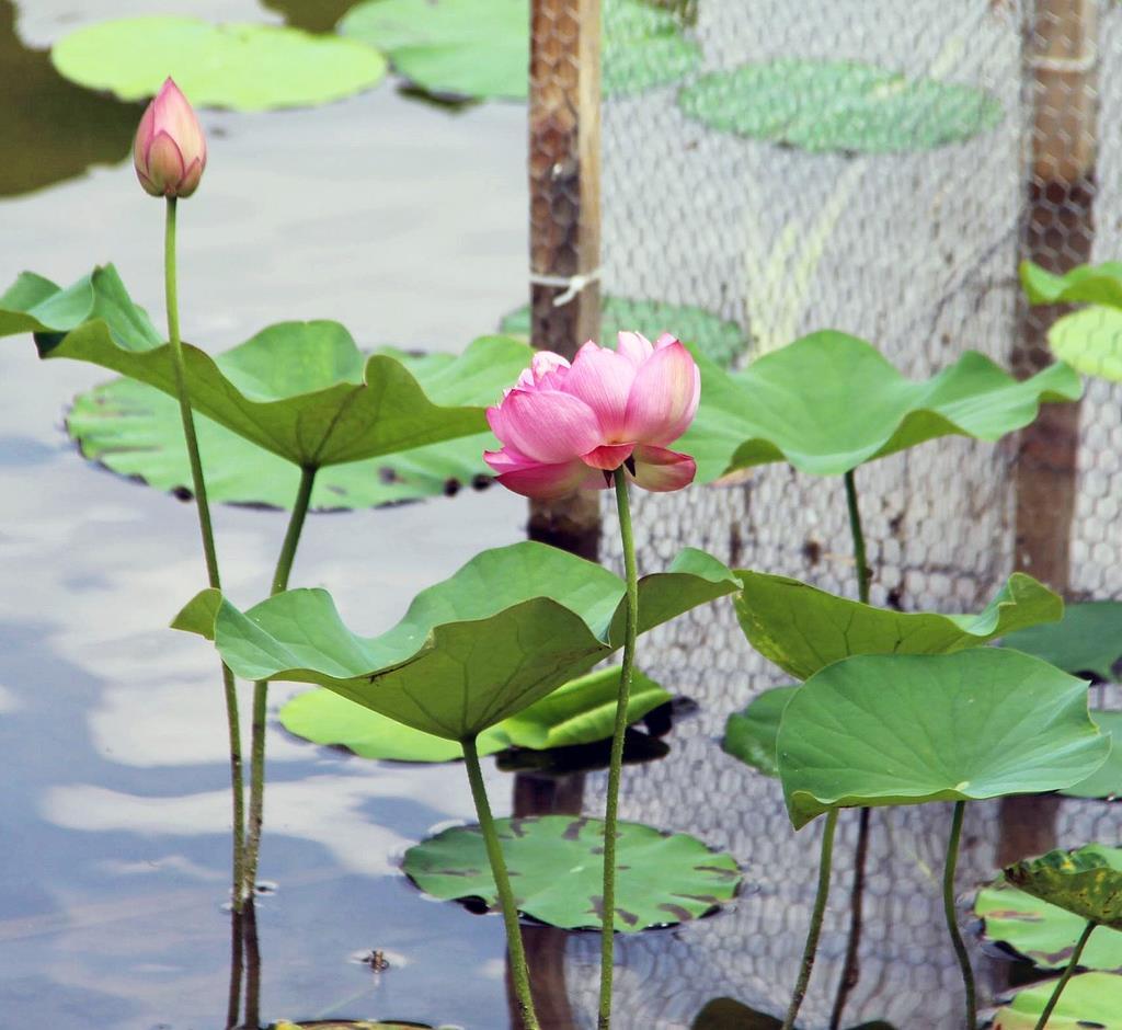 開花した園芸品種のハス。ミドリガメの食害を受けなかった=丹波篠山市