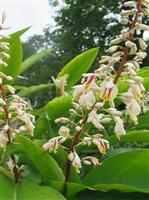 【ハイ檀です】月桃の花