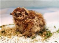 ライチョウの雌1羽孵化 東京・上野動物園
