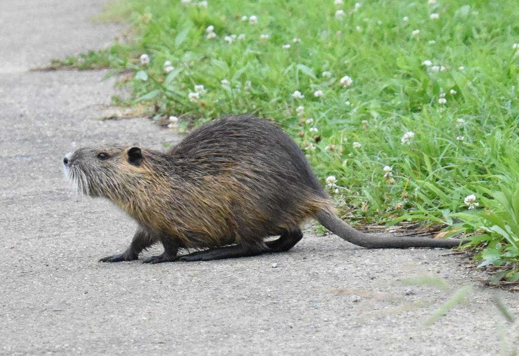 堤防も決壊、大型ネズミ・ヌートリアの脅威 なぜ各地で繁殖