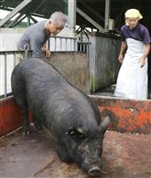鹿児島・奄美の「島豚」復活目指す 有志の研究会発足