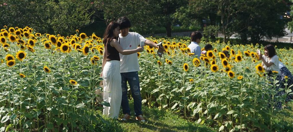 カップルや家族連れでにぎわうヒマワリ畑=奈良県営馬見丘陵公園