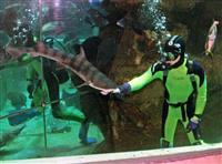 ドチザメ餌付け猛特訓中 日本初、ショーの目玉に 城崎マリンワールド