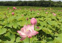 ピンクの大輪に魅せられ 那須でハス数千株開花