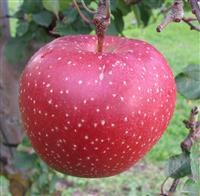 中国でリンゴ「千雪」の苗木を無許可販売か 青森県は法的措置含め対応