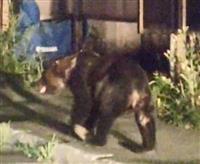 住宅街にクマ、9時間居座り家庭菜園荒らす 札幌