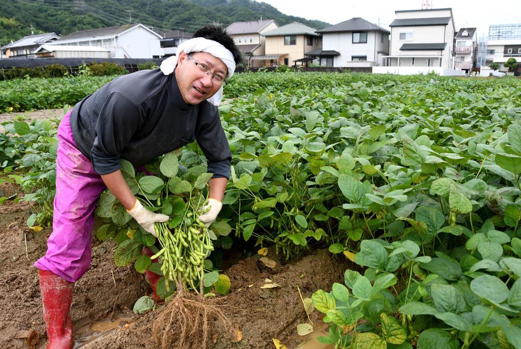 「八尾えだまめ」を収穫する辻野茂樹さん=7月19日、大阪府八尾市
