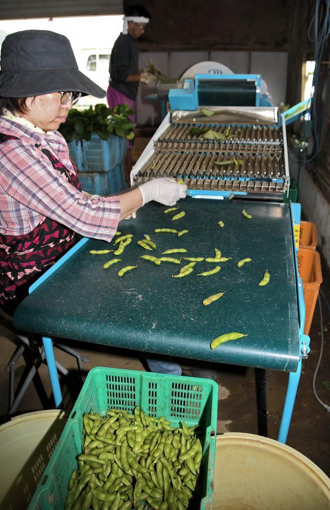 収穫した「八尾えだまめ」を選別する作業を行う辻野浩美さん(手前)と茂樹さん(奥)=7月19日、大阪府八尾市