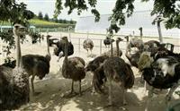 平壌に「ダチョウ牧場」 観光に活用、食肉加工場も