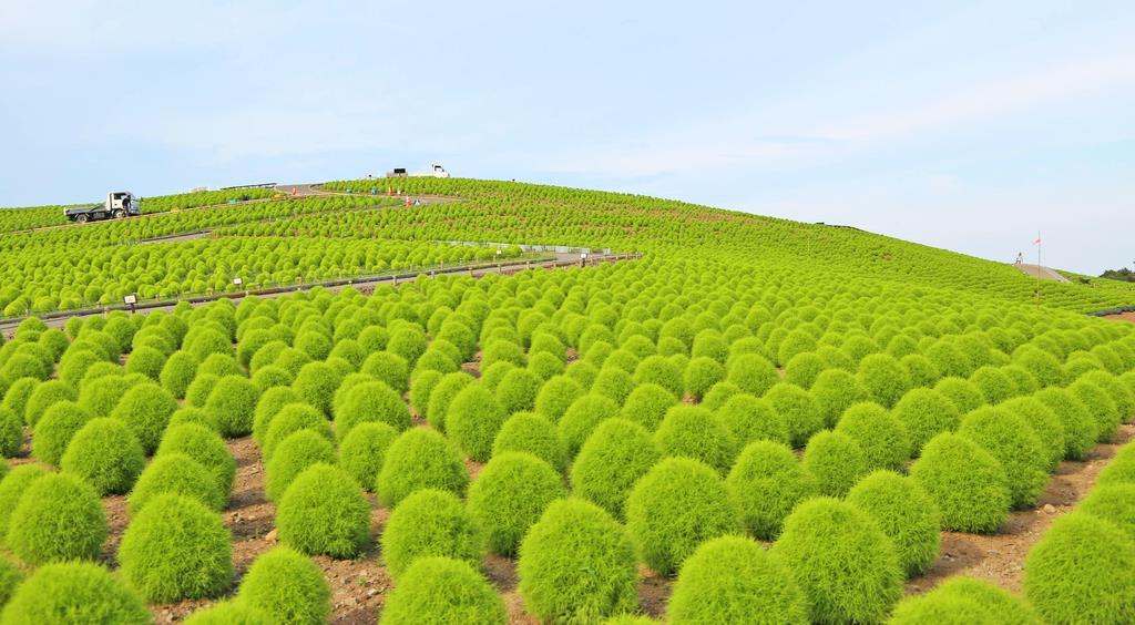 「みはらしの丘」を緑色に彩るコキア。澄んだ夏の青空との対比が美しい=茨城県ひたちなか市の国営ひたち海浜公園(永井大輔撮影)