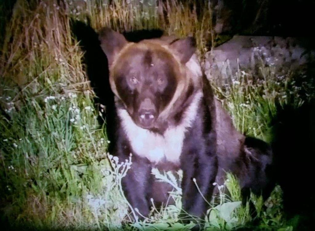 8日未明、札幌市南区の住宅地に現れたヒグマ(北海道警提供)