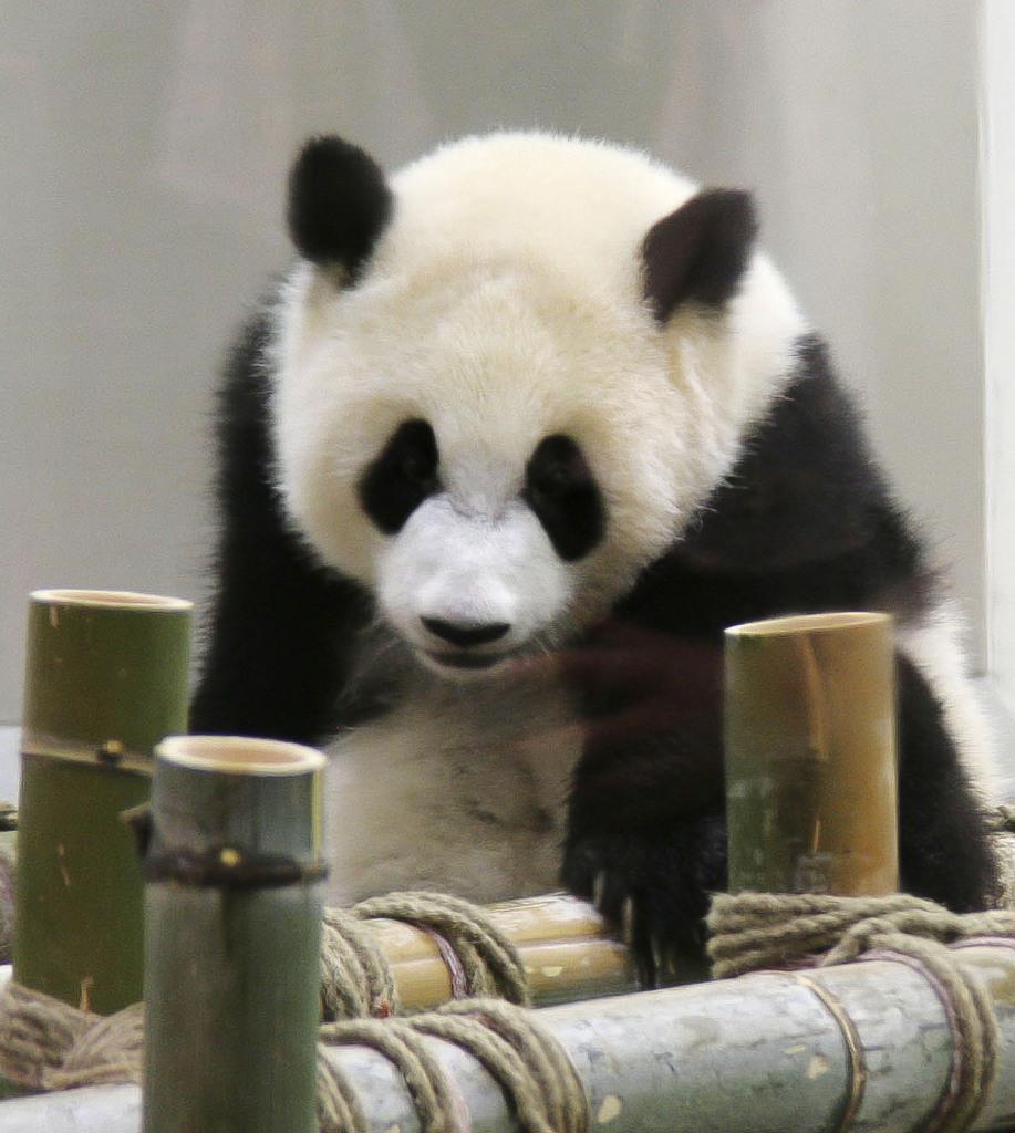 1歳の誕生会が開かれ、竹製の遊具で遊ぶジャイアントパンダ「彩浜」=14日午前、和歌山県白浜町のアドベンチャーワールド